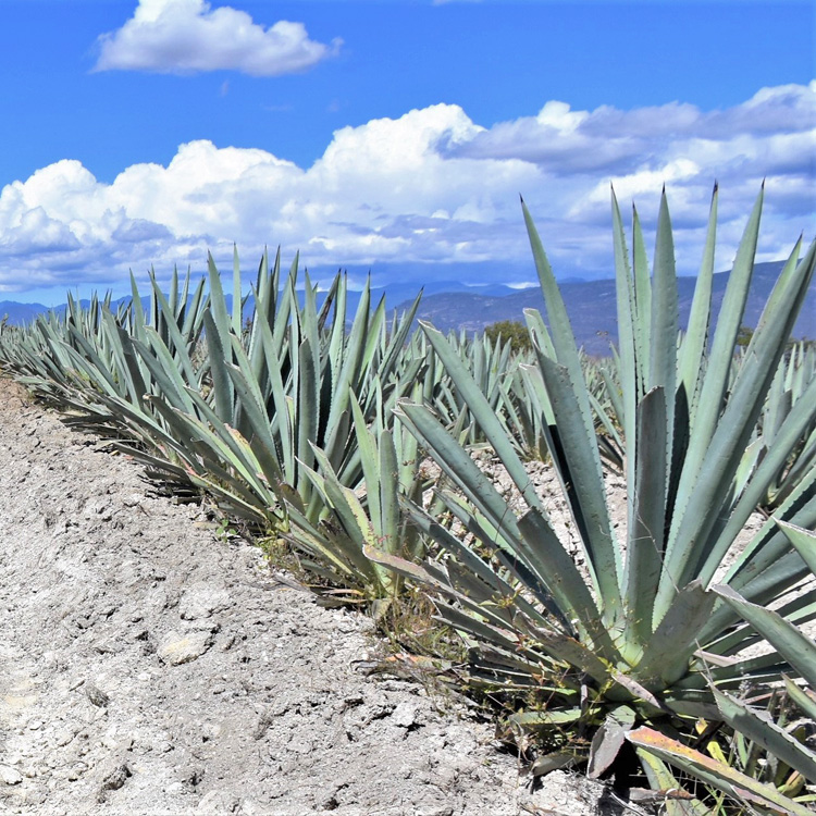 maguey field